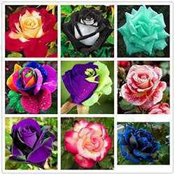 100 pcs/sac rose graines noir rose si charmant bonsaï graines de fleurs  rares et précieux vivaces fleurs plantes pour la maison jardin